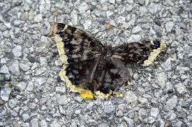 crushed butterfly