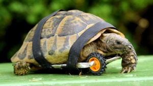 Tortoise with prosthesis